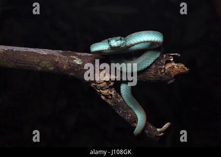 Sunda Island pit viper - Stock Photo