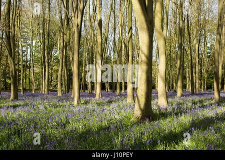 Badbury Wood, Faringdon, UK. 18th Apr, 2017. A carpet of English bluebells covers the ground underneath the beech - Stock Photo