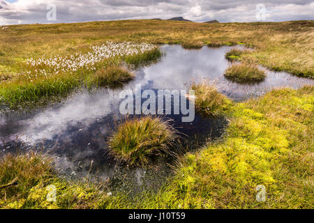 Pond on peat moor with bog cotton, common cottongrass (Eriophorum angustifolium), in the Brecon Beacons, South Wales, - Stock Photo