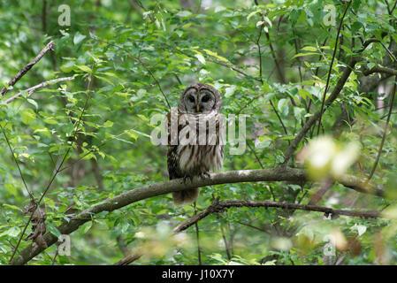 Barred Owl - Stock Photo