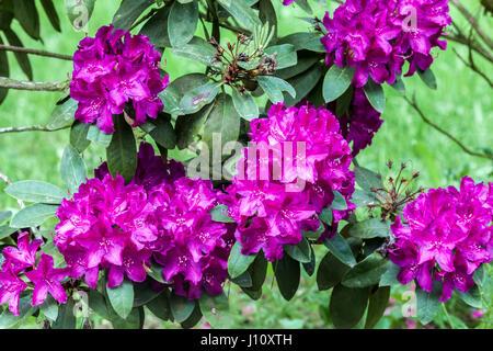 Rhododendron 'Polarnacht', purple flowering - Stock Photo