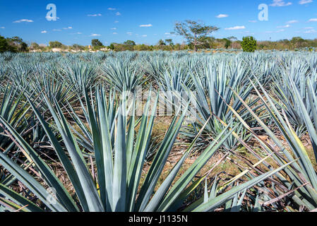 Field of blue agave for tequila near Valladolid, Mexico - Stock Photo
