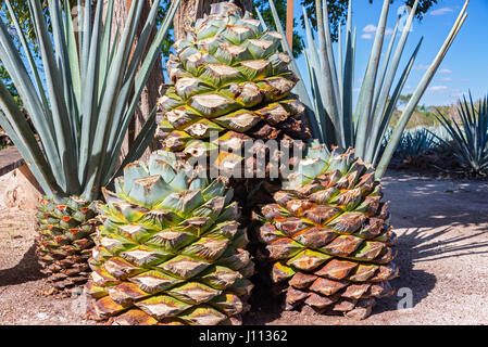 Stack of blue agave pineapples used for making tequila near Valladolid, Mexico - Stock Photo