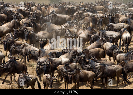 Wildebeests standing in the savannah. Great Migration. Kenya. Tanzania. Masai Mara National Park. An excellent illustration. - Stock Photo