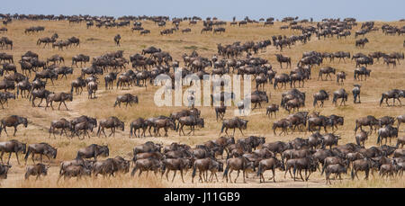 Wildebeests standing in the savannah. Great Migration. Kenya. Tanzania. Masai Mara National Park. An excellent illustration. - Stock Photo