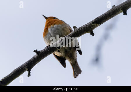 Robin (Erithacus rubecula) perching on a tree seen from the bottom - Stock Photo