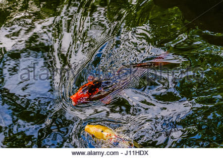 Exotic fish in a garden fish pond with equatic plants and for Exotic koi fish