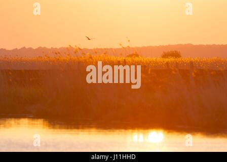 Marsh harrier patrols the marshes at La Grande Briere, NW france - Stock Photo