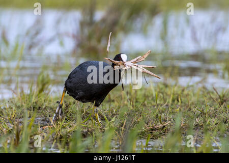 Eurasian coot (Fulica atra) in wetland collecting nesting material like grass blades for nest building in the breeding - Stock Photo