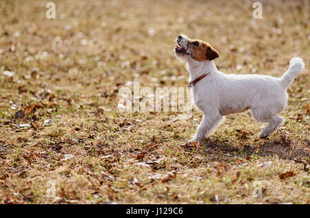 Young playful terrier puppy playing on spring lawn - Stock Photo