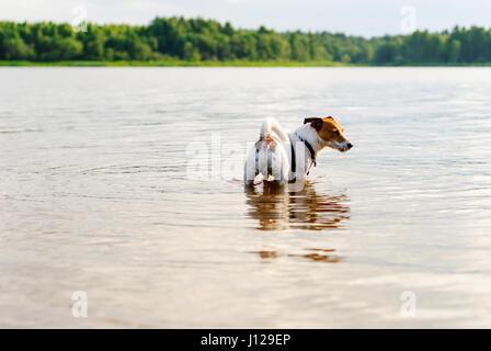 Dog rambling in river water at hot summer day - Stock Photo