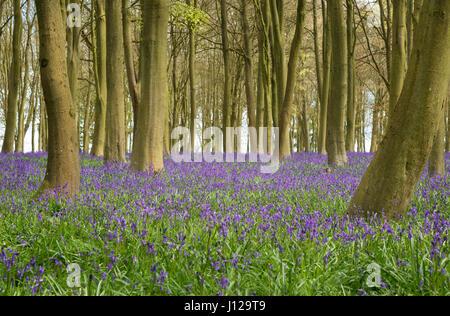 Bluebell Wood - Stock Photo