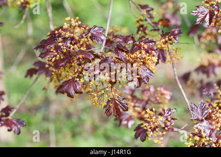 Acer platanoides 'Goldsworth Purple' in flower. - Stock Photo