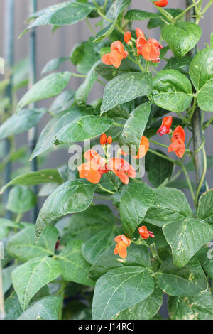 Phaseolus coccineus or also known as Scarlett Runner Bean - Stock Photo