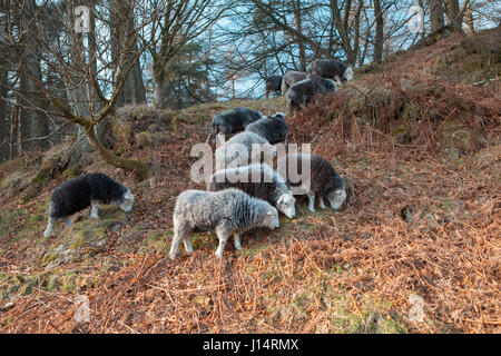 Grazing sheep grazing at Tarn Hows, Part of the Lake District national park in England, United kingdom - Stock Photo