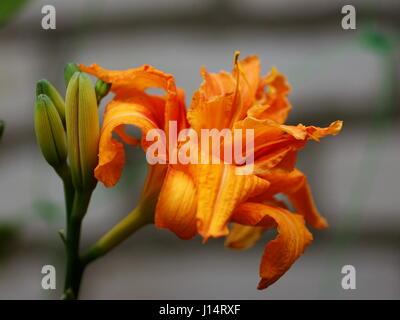 Daylily (Hemerocallis) fulva Kwanso - Stock Photo