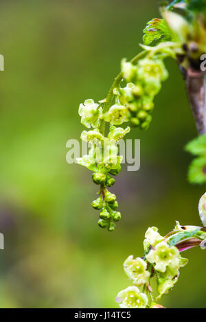 Blooming current plant in garden, spring time. - Stock Photo