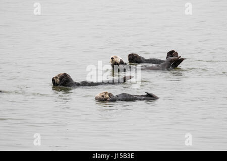 Southern sea otters, (Enhydra lutris), relaxing on a calm day in Elkhorn Slough
