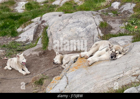 Greenland Husky (Canis lupus familiaris borealis) chained outside with two unchained puppies in summer Itilleq Qeqqata - Stock Photo