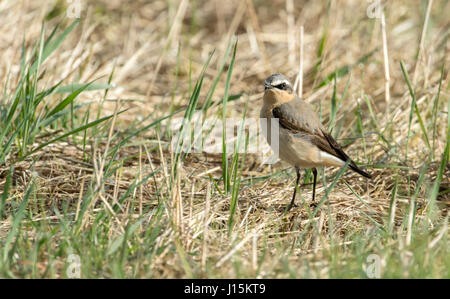 Northern wheatear (Oenanthe oenanthe). Male moulting into breeding plumage. The species is usually known simply - Stock Photo