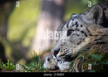 Close up side profile portrait of young female snow leopard (or ounce, Panthera uncia) resting on the ground and - Stock Photo