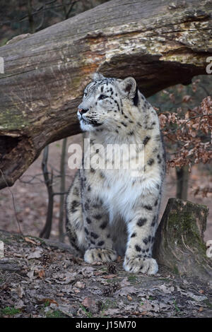 Close up front view portrait of young female snow leopard (or ounce, Panthera uncia) looking away from camera, low - Stock Photo