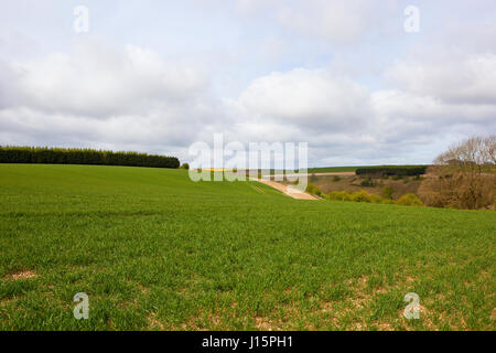 undulating wheat fields near woodland in the yorkshire wolds under a blue cloudy sky in springtime - Stock Photo