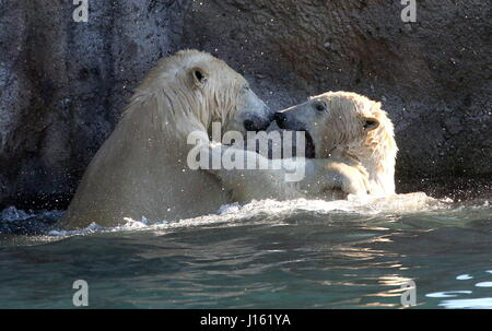 Aggressive female Polar bears (Ursus maritimus) fighting in the water - Stock Photo