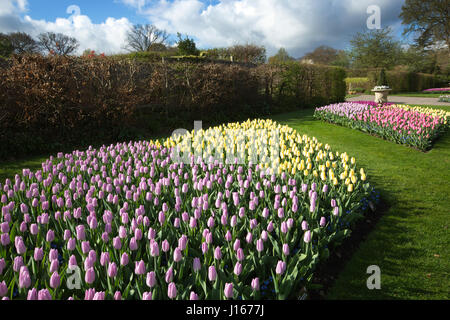 Tulips on display at RHS Wisley Gardens - Stock Photo