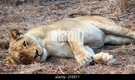 Lioness resting in South African Sun