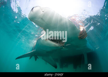 SOUTH FLORIDA, USA: RARE PICTURES have been captured of 600-pound hammerhead sharks being tagged and released by - Stock Photo
