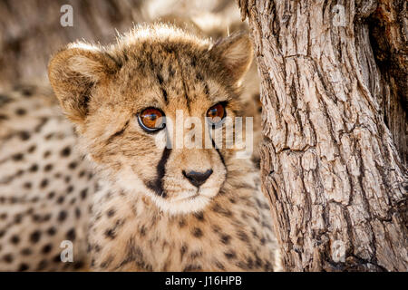 Young cheetah cub in a tree in Namibia Stock Photo