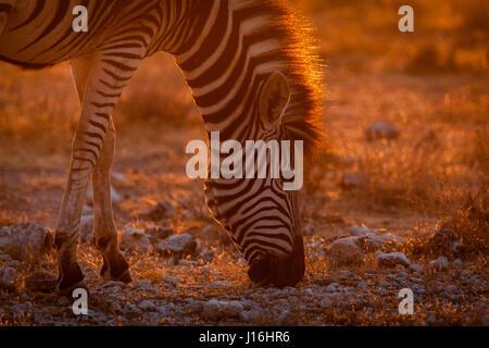 Zebra grazing in Etosha National Park during sunset