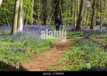 Young family walking through bluebell woods in Crowthorne, Berkshire UK - Stock Photo
