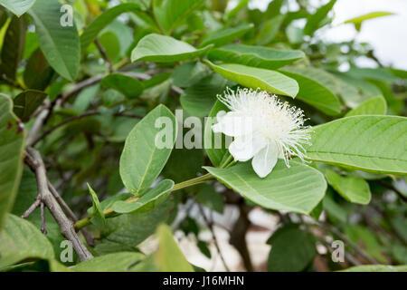 Common guava (Psidium guajava) flower on tree - Stock Photo