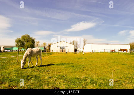 Several Gray-colored Stallions grazing in the department of the Meuse in France - Stock Photo