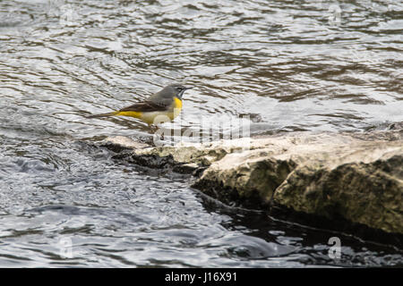 Grey wagtail (Motacilla cinerea) in profile. Colourful bird in the family Motacillidae, standing on rock in river - Stock Photo