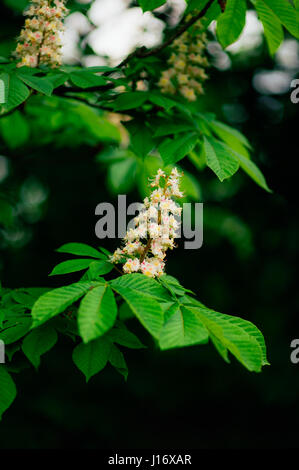 Blossoming chestnut flowers on the branche - Stock Photo