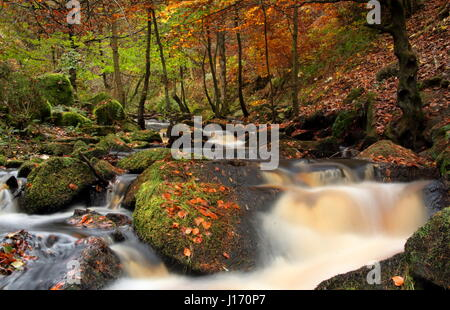 Stunning autumn foliage in woodland in the scenic Wyming Brook nature reserve in Sheffield city's Peak District, England UK Stock Photo