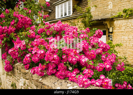 A cascading display of a pink rambling rose {probably R. American Pillar) festooned on the front garden wall in - Stock Photo