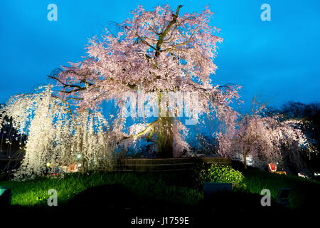 Night view of the famous Maruyama Park in Kyoto, Japan and blossoms of a giant sakura tree in Kyoto Japan. Beautiful pink cherry blossoms at nightfall