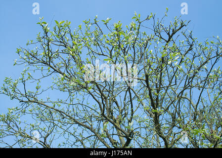 First leaves growing on cydonia oblonga fruit tree after pruning treatment to combat sickness in previous year - Stock Photo