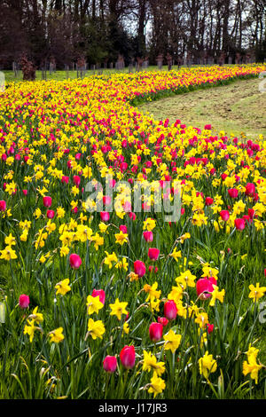 A vast swathe of daffodils and tulips in Ardgillan Castle Park between Skerries and Balbriggan co. Dublin, Ireland - Stock Photo