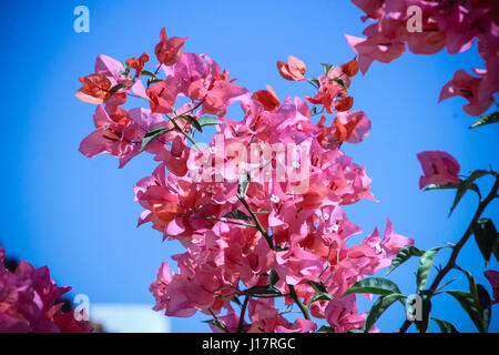 up close.  vivid pink and fuchsia bougainvillea with its papery flowers and glossy green leaves and thorns against - Stock Photo