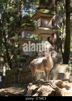 Deer near the stone lanterns of Kasuga Taisha Shrine,  Nara Park, Nara City, Japan - Stock Photo