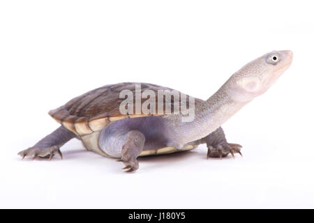 New Guinea snake-necked turtle, Chelodina novaeguineae - Stock Photo
