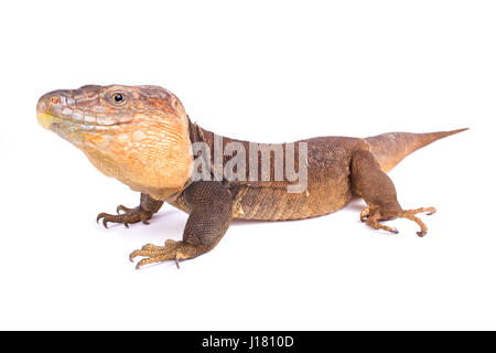 Gran Canaria giant lizard, Gallotia stehlini - Stock Photo