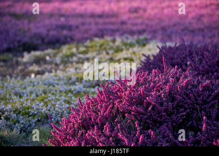 lilac heather - Stock Photo