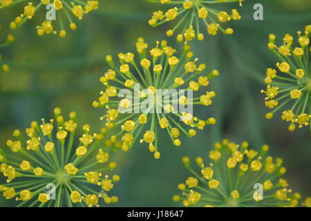 Summer background with flowers of green dill - Stock Photo