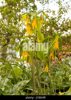 Some Stunning and Beautiful Yellow and Green Uvularia grandiflora Large Merrybells in Spring Light Bokeh Background - Stock Photo